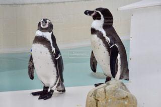 ペンギンの上に座って鳥の写真・画像素材[775976]