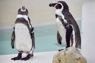 ペンギンの上に座っている鳥の写真・画像素材[775979]