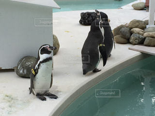 雪の中のペンギンの写真・画像素材[775980]