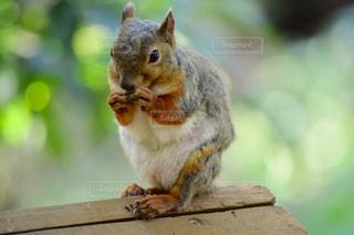 木の部分を食べるリスの写真・画像素材[776010]