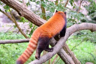 枝に横になっているパンダの写真・画像素材[805989]
