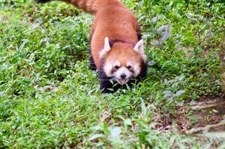 草の中を歩くパンダの写真・画像素材[805991]