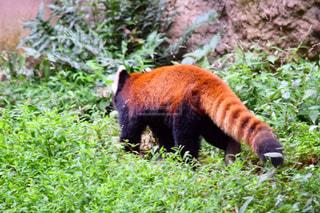 緑豊かな緑の森を歩いてパンダの写真・画像素材[805992]