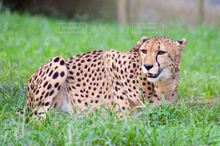 草の上に横になっている猫対象フィールドの写真・画像素材[993709]