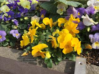 近くに黄色い花のアップの写真・画像素材[1068187]