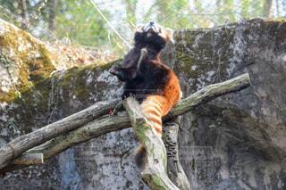 枝の上に座って猿の写真・画像素材[1068649]