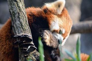 枝に横になっているパンダの写真・画像素材[1068654]