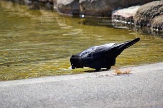 水の中のアヒルの写真・画像素材[1068786]