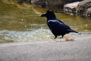 水の体の横に黒い鳥立っての写真・画像素材[1068788]