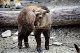 汚れで茶色のクマの立っています。の写真・画像素材[1072237]