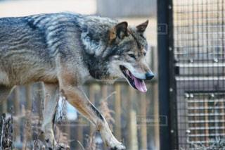 その口を開いてオオカミの写真・画像素材[1078598]