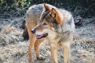 乾いた草のフィールドに立っている犬の写真・画像素材[1078606]