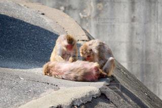 ベンチに座っている猿の写真・画像素材[1078696]
