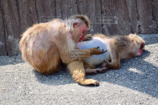 ベンチに座っている猿の写真・画像素材[1078697]