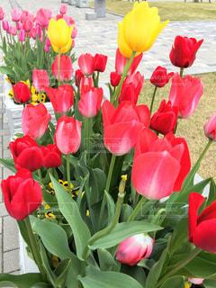 赤と黄色の花の写真・画像素材[1111247]