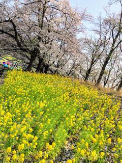 フィールド内の黄色の花の写真・画像素材[1111328]
