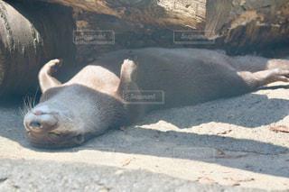 地面に横たわって動物の写真・画像素材[1139134]