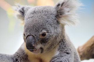 近くにコアラのアップの写真・画像素材[1154298]