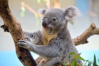 コアラの食べる木から葉します。の写真・画像素材[1154300]
