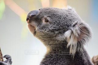 近くにコアラのアップの写真・画像素材[1154303]