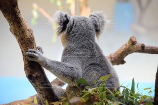 枝の上に座ってコアラの写真・画像素材[1154305]