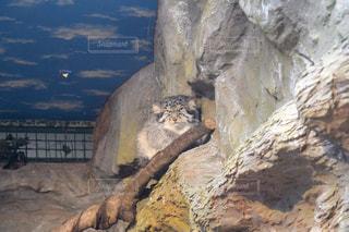 岩の上に座っている猿の写真・画像素材[1353308]