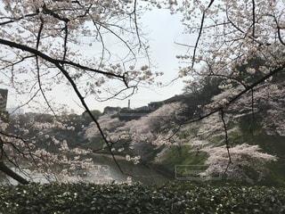 水辺の桜の写真・画像素材[1097610]