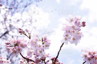 春の写真・画像素材[329159]