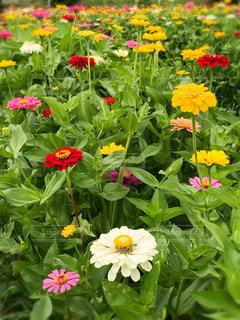 花の写真・画像素材[633031]