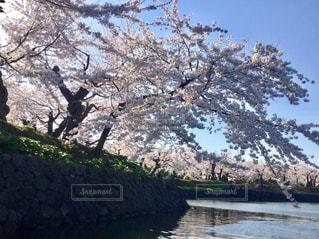 桜の写真・画像素材[633262]