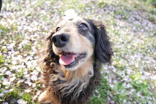 犬の写真・画像素材[435945]