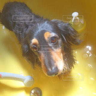 犬の写真・画像素材[509498]