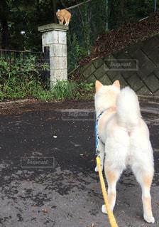 未舗装の道路の上を歩く猫の写真・画像素材[981312]