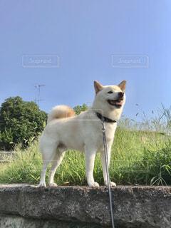 草の上に立っている犬の写真・画像素材[4234163]
