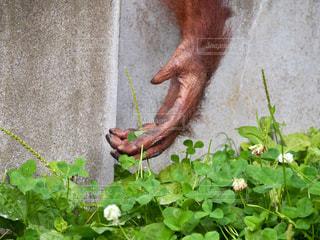 猿の写真・画像素材[641267]