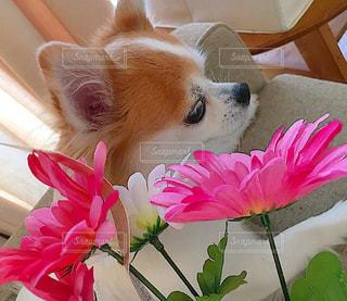 犬の写真・画像素材[636762]