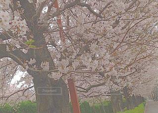 桜の写真・画像素材[636859]
