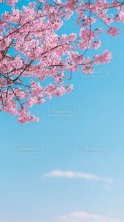 晴れわたる空と桜の写真・画像素材[4203518]