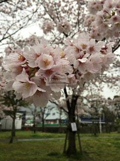 桜の写真・画像素材[640310]