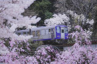 桜はしる鉄道の写真・画像素材[3111459]