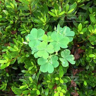 植物 クローバー 緑 花 四季の写真・画像素材[639008]