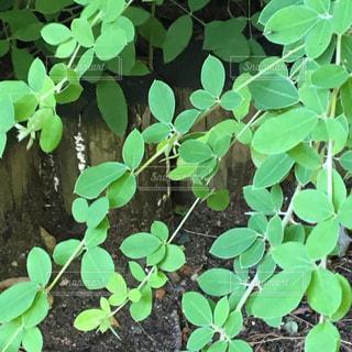 葉っぱ 植林 植物 植栽 緑 - No.639651