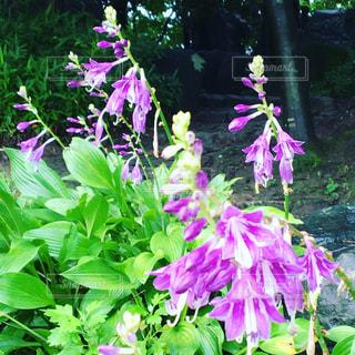 花 紫 植物 葉の写真・画像素材[639655]