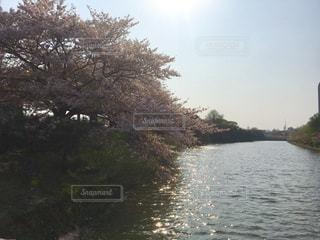 桜の写真・画像素材[638689]