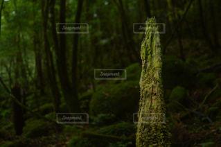 屋久島 白谷雲水峡の写真・画像素材[1026059]