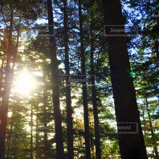 フォレスト内のツリー - No.710446
