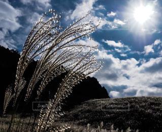 太陽とすすきの写真の写真・画像素材[1586871]