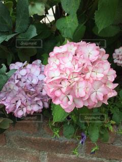 紫陽花の写真・画像素材[638913]