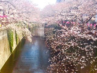 桜 - No.639700