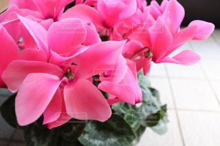ピンクの花の写真・画像素材[3014851]